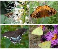 why natives? butterflies are just one great reason, says andy brand