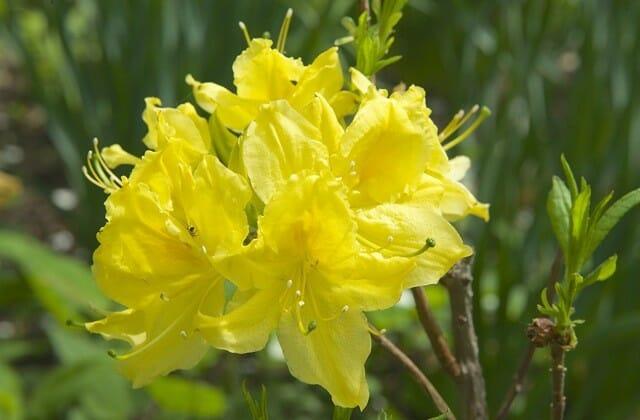 lemon lights azalea