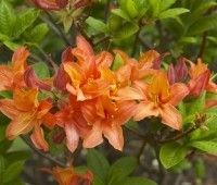psychedelic garden: my first adventure with deciduous azaleas