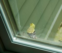 goldfinch collects spider web 3
