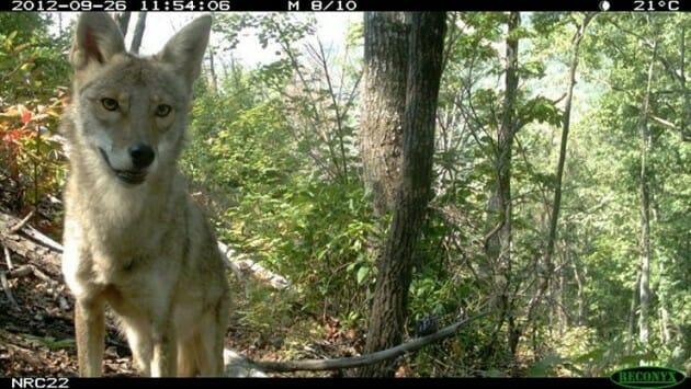 photgenic-coyote-630x355