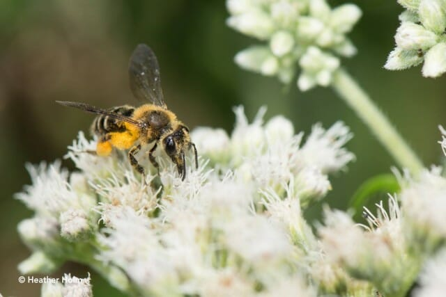 Mining bee on boneset copyright Heather Holm