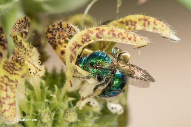 Sweat bee copyright Heather Holm