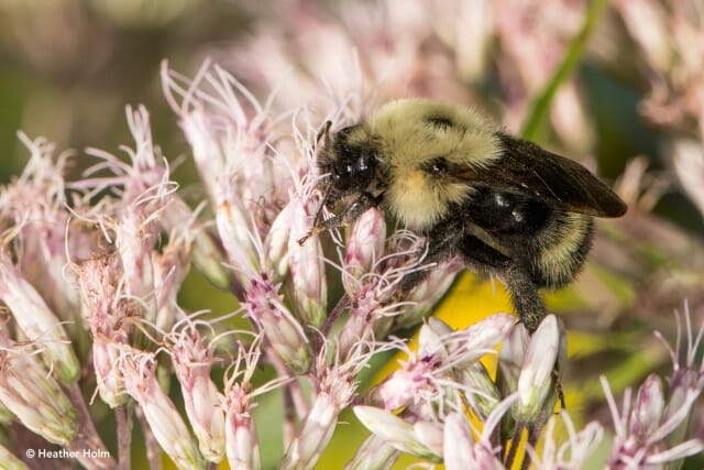 Lemon cuckoo bumble bee copyright Heather Holm