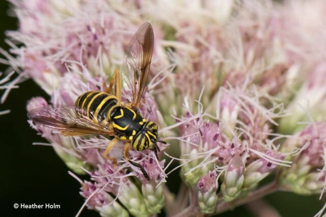 Syrphid fly copyright Heather Holm