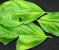 calling all gardeners: report basil downy mildew occurrences!