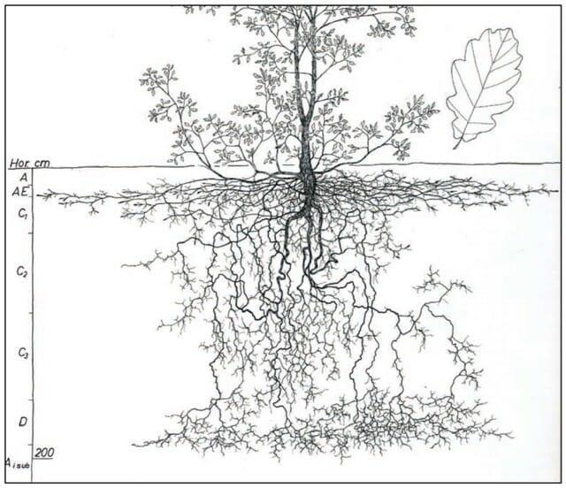 quercus robur roots from kourik book