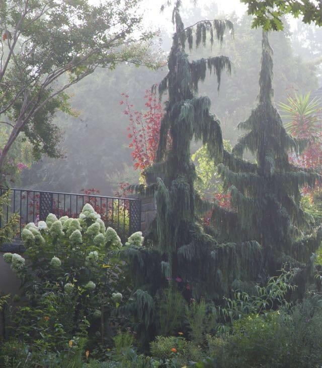 Hydrangea paniculata 'Limelight' in Long Border