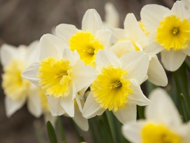 daffodil-cs