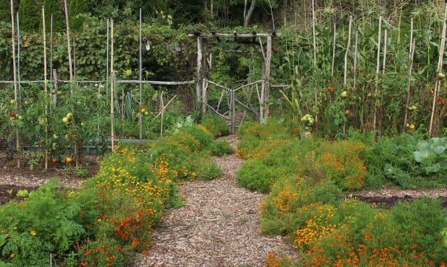 Signet marigolds Lee Reich's garden