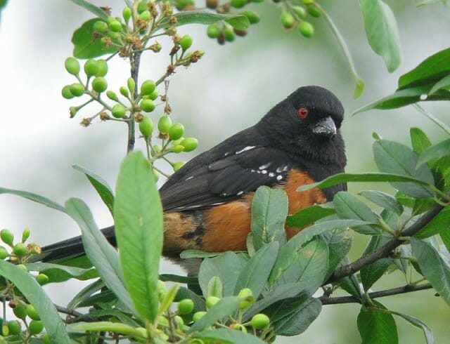 12 - spotted towhee gorgeous