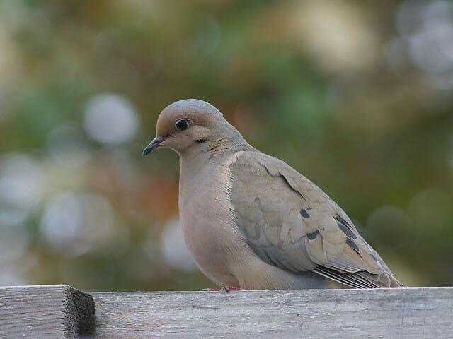 Mourning Dove © Joanne Kamo