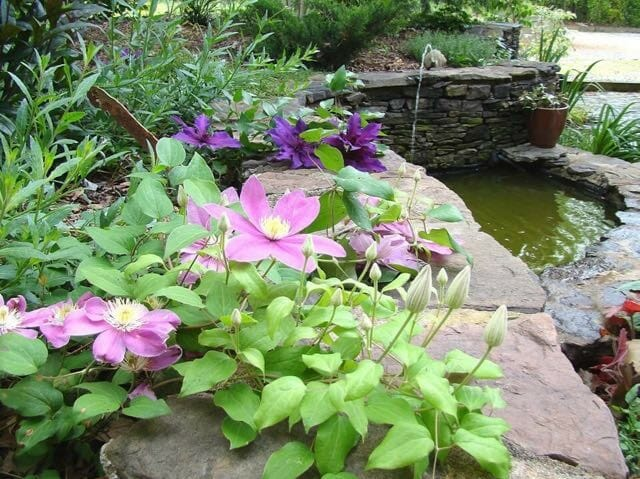 clematis on wall by Brushwood