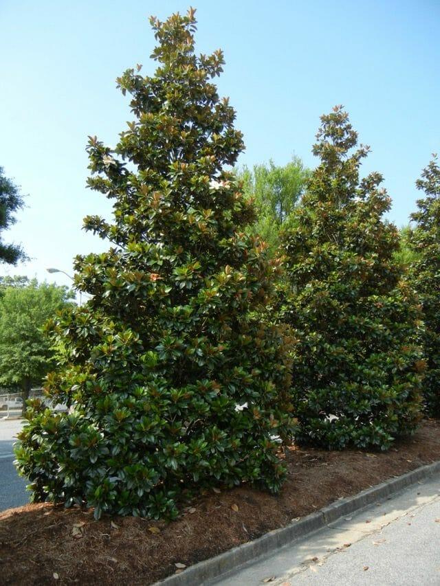 Magnolia grandiflora 'Hasse'-Wofford College-Parris