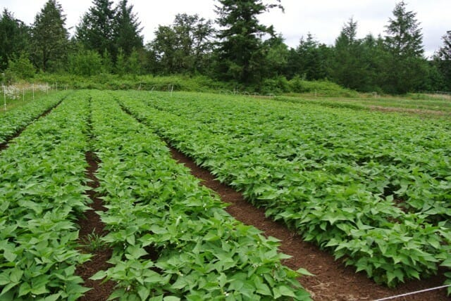 bean-field