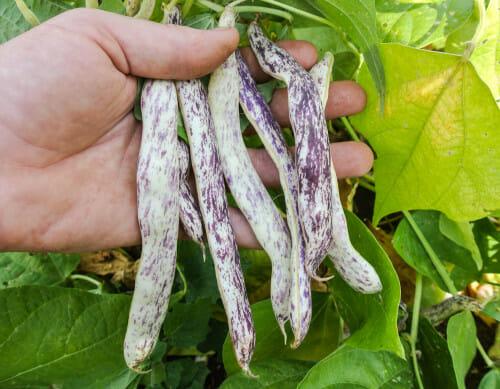 Bean Marvel of Piedmont