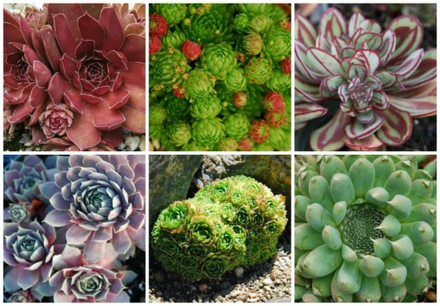 Getting Creative With Succulent Hens Chicks With Katherine Tracey A Way To Garden