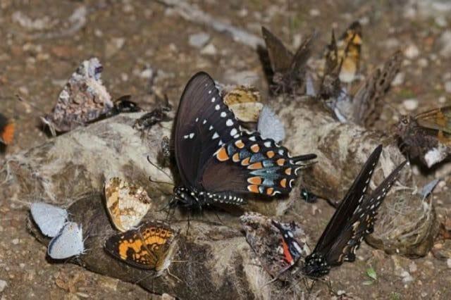 Butterflies on coyote scat by Bryan E. Reynolds