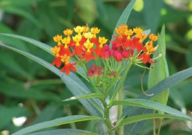 asclepias currasavica by Forest and Kim Starr