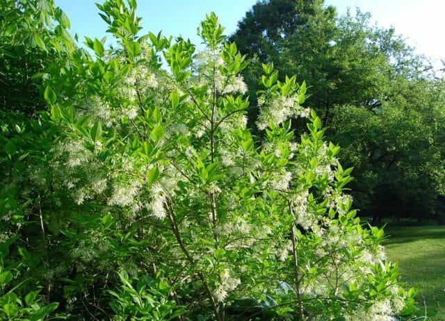 may-30-chinanthus8