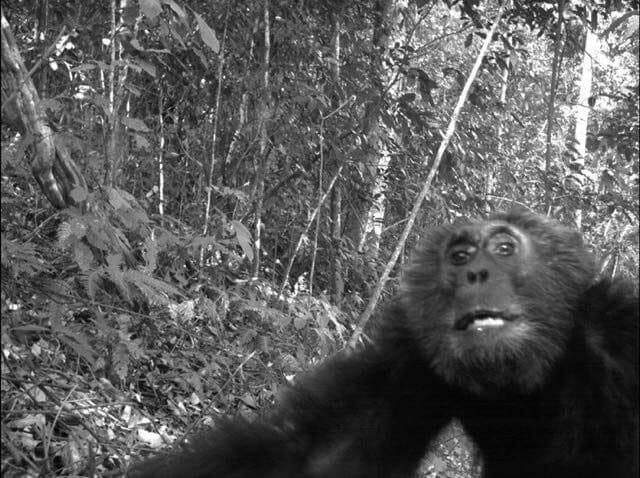 chimp-selfie