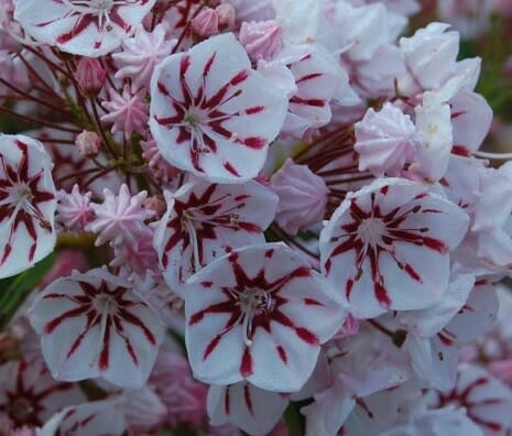 kalmia-latifolia-peppermint-flwr-june-6-2009-22