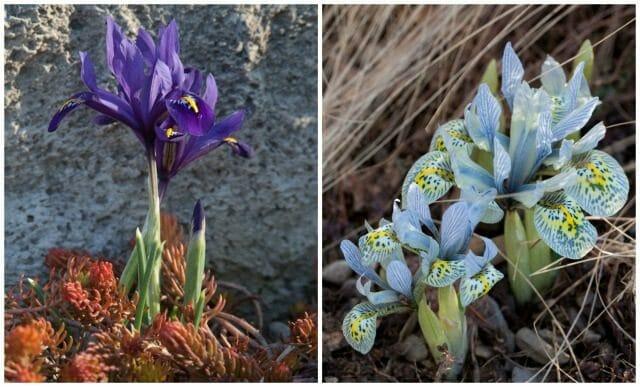 iris from lisa roper chanticleer-3