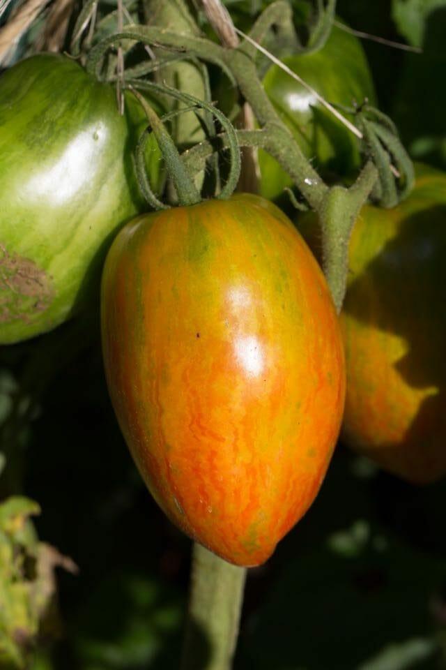 Speckled Roman tomato by Stephen Garrett