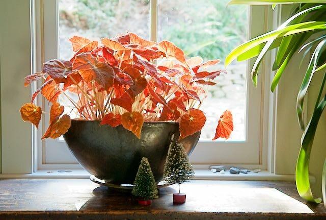 autumn-ember-begonia