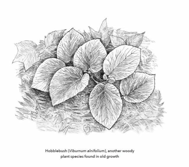 hobblebush-by-andrew-joslin