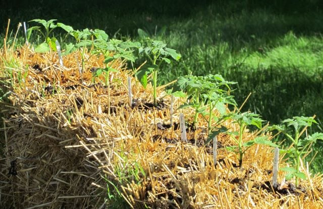 straw bale garden with tomatoes by craig lehoullier