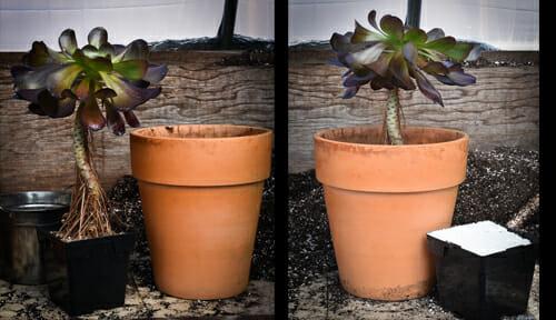 repotting Aeonium