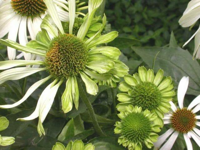 photo from Missouri Botanical Garden