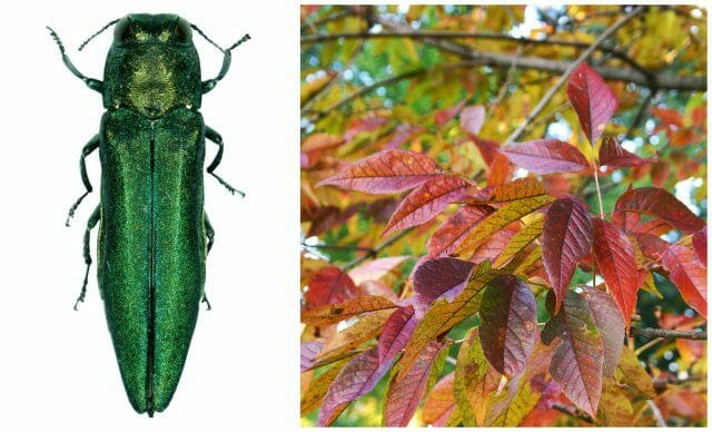 Emerald Ash Borer Plus Imperiled Oaks With Morton S Murphy Westwood A Way To Garden