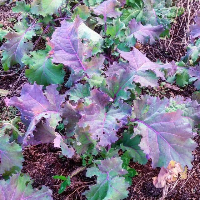 Blauwe Groninger kale