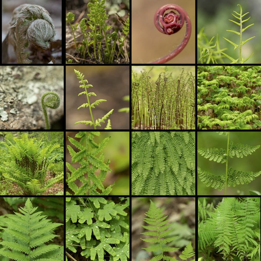 native ferns and how to propagate them, with uli lorimer